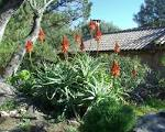 Images & Illustrations of aloes