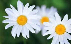 """Résultat de recherche d'images pour """"fleurs blanches"""""""