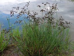 Juncus articulatus - Wikipedia