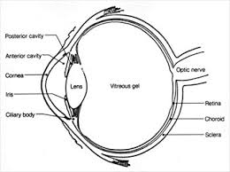 free eye diagram clipart   free clipart graphics  images and    eye diagram