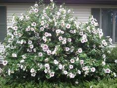 Image result for white rose of sharon