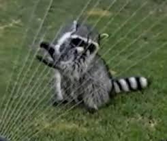 raccoon in sprinkler