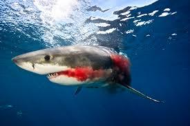 Resultado de imagem para tubarão branco se alimentando de outros tubaroes
