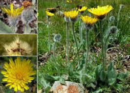 Hieracium villosum Jacq. - Sistema informativo sulla flora delle Alpi ...
