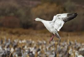 snow geese hunting allowed in delaware as population rises snow geese hunting allowed in delaware as population rises delmarva public radio