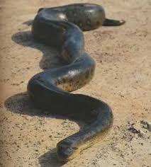Image result for anacondas