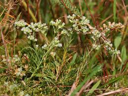 Scleranthus - Wikipedia