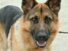 معلومات و بحث عن تربية الكلاب و الكلاب البوليسية و كلاب الصيد و الحراسة