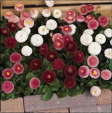 <b>Bellis</b> Daisies Bellissima Mixed | Tray of 40 Plug Plants - Brookside ...