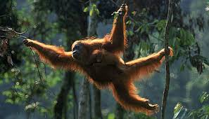 Image result for orang utan