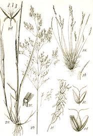 Mibora minima - Wikipedia, la enciclopedia libre