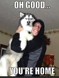 husky memes on Pinterest | Husky Meme, Husky and Siberian Huskies via Relatably.com