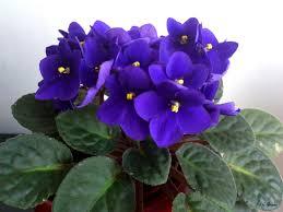 Resultado de imagen para Violetas africanas