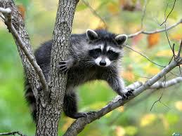Jenot na drzewie