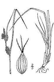 Plants Profile for Carex extensa (longbract sedge)