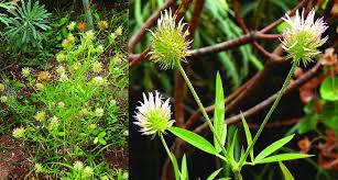 Trifolium latinum photographed in the Decima-Malafede Regional ...
