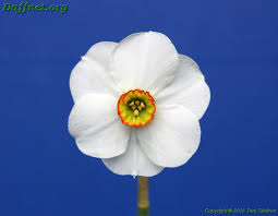 lemon tree x: the rose ribbon for the best seedling in show un named daffodil and the