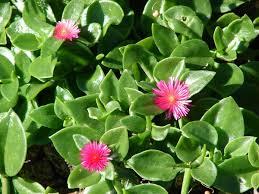 Aptenia cordifolia – Wikipédia, a enciclopédia livre