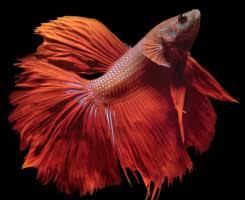 <b>Бойцовая рыбка</b> или Сиамский петушок (Betta splendens)