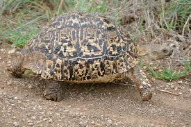 Tartaruga-leopardo