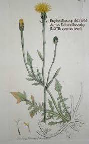 Crepis foetida - Online Virtual Flora of Wisconsin