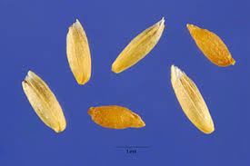 Plants Profile for Phleum alpinum (alpine timothy)