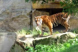 my favorite animal essay my favourite animal tiger essay in english   essay topics bengal tiger my favorite animal