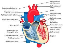 circulatory and respiratory system essay   circulatory and    circulatory and respiratory systems   regents exam prep center