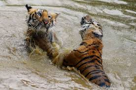 n wildlife week celebration from st to th  tiger playing in water
