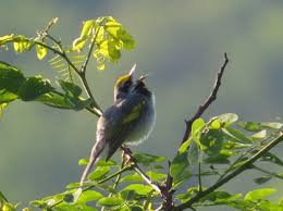 Timber Harvests Attract Rare <b>Golden</b>-Winged <b>Songbirds</b>