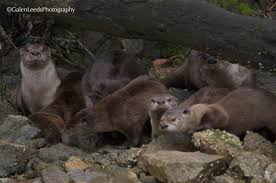 the north american river otter an extensive essay in photos a