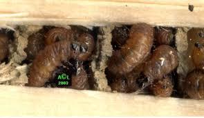 Résultats de recherche d'images pour «abeille charpentière nid»
