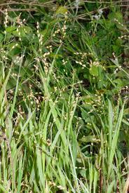 Melica uniflora – Wikipédia, a enciclopédia livre