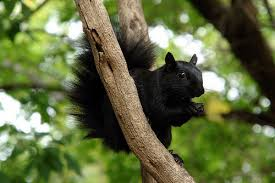 Image result for canadian black squirrels
