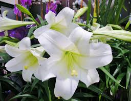 Image result for Easter Lilies