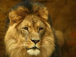 Image result for cecil lion