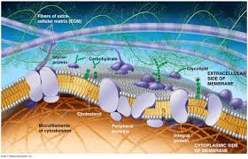 glycoproteins in the cell membrane section cell and cell glycoproteins in the cell membrane the plasma membrane structure anatomy physiology