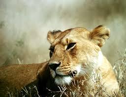 The Pride, A realistic Lion Rp  Images?q=tbn:ANd9GcSzUmgzw0vpSCgtdEtTcOEHROuObPOqGAroqqUr_41NVXQY7lrC