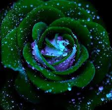 """Képtalálat a következőre: """"green rose"""""""