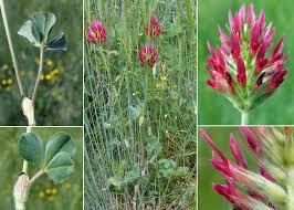 Trifolium incarnatum L. subsp. incarnatum - Guida alla flora degli ...