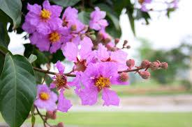 Màu tím thường mang một sự thương yêu và cũng có vẻ gì đó buồn buồn, nên vì vậy hoa bằng lăng mang màu tím có ... - hoa-bang-lang-tim-2