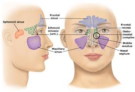 Image result for sinus