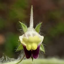 Kickxia elatine Calflora