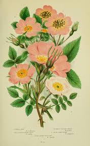 Rosa inodora - Wikidata
