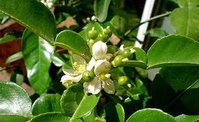 Image result for lime leaf