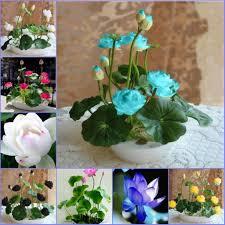 <b>5 pcs</b>/<b>pack</b> Hydroponic Flowers <b>Bowl Lotus</b> | Shopee Philippines