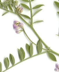 CalPhotos: Vicia disperma; European Vetch