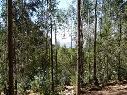 Image result for juniperus procera