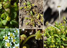 Nananthea perpusilla (Loisel.) DC. - Portale sulla flora del Parco ...