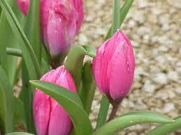 Tulipa pulchella - Wikipedia, la enciclopedia libre